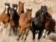 Cavallo-in-America-1-C-mustang-80x60